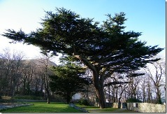Cedar Tree in Lebanon